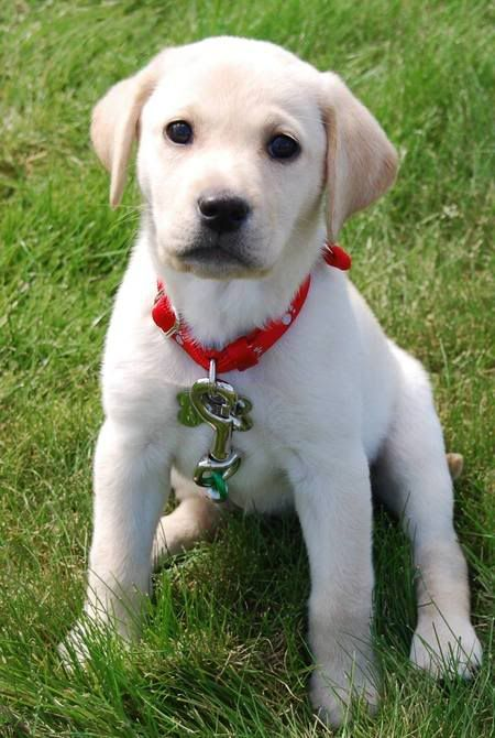 Do You Like My Red Collar With Images Yellow Lab Puppies Lab