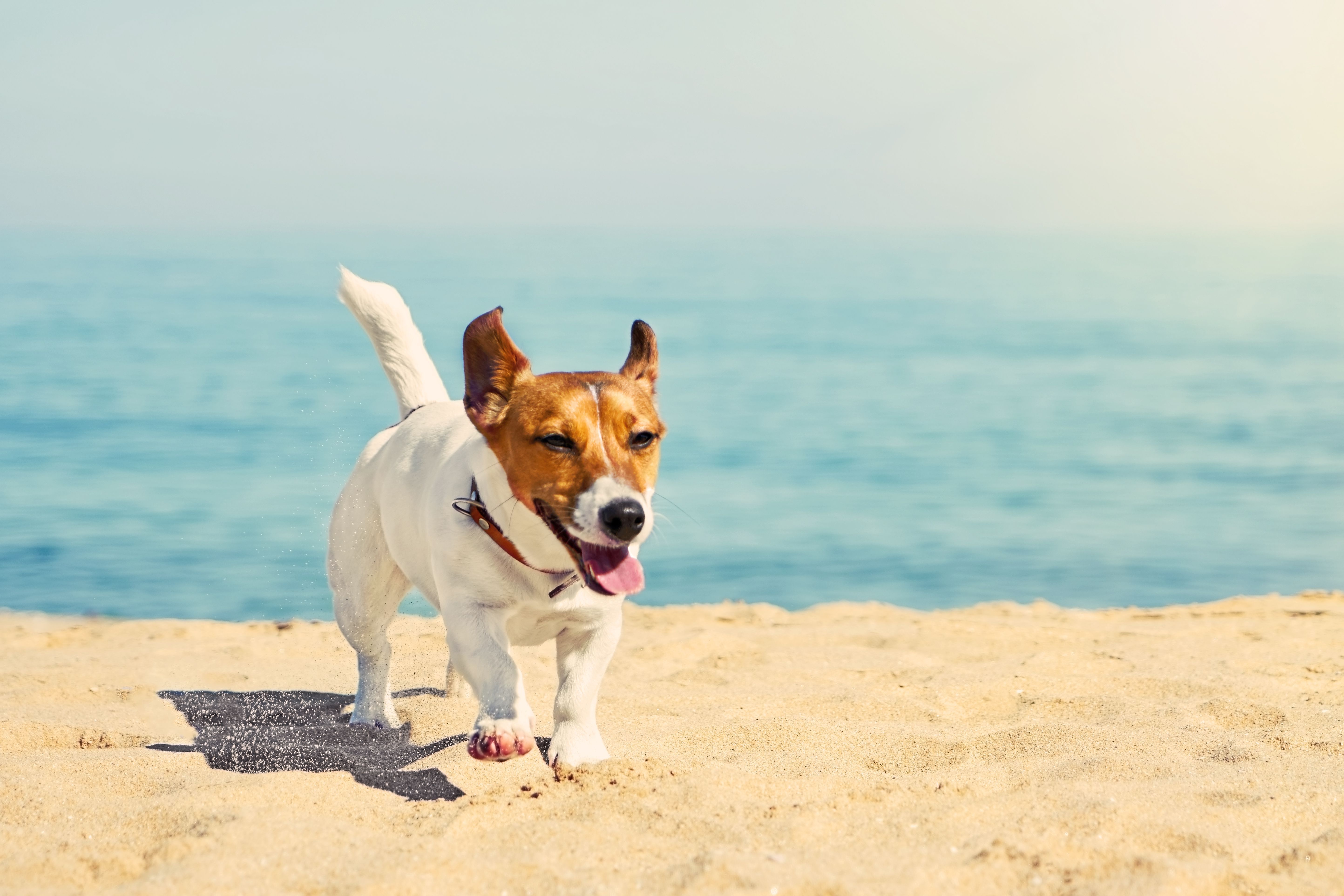 Jack Russell Puppy Cute Jack Russell In The Beach With A Big Smile