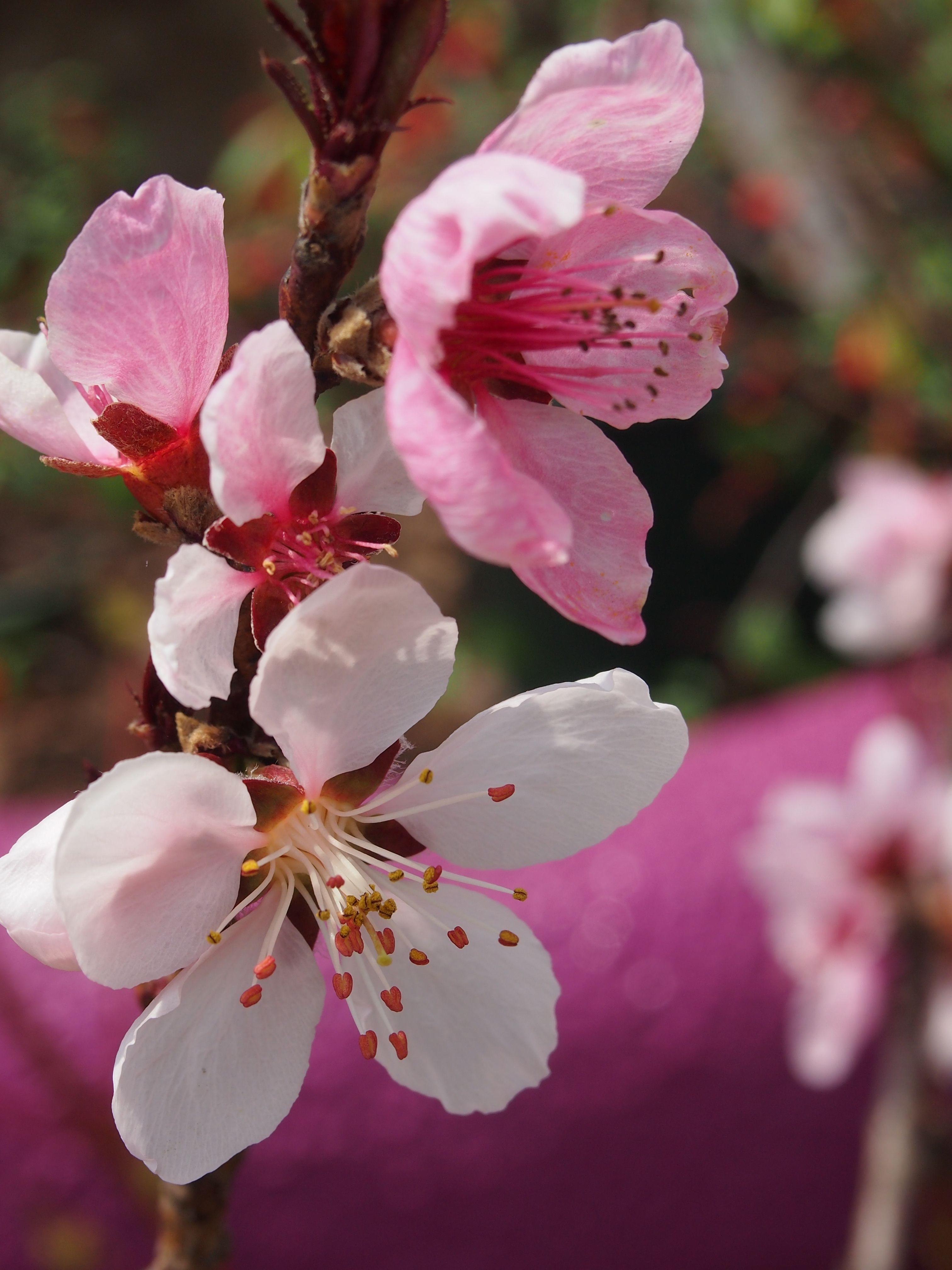 Prunus Persica U0027Bonfireu0027 BONFIRE PATIO PEACH LEAF Deciduous Flowering Tree  Full Sun Mature Size