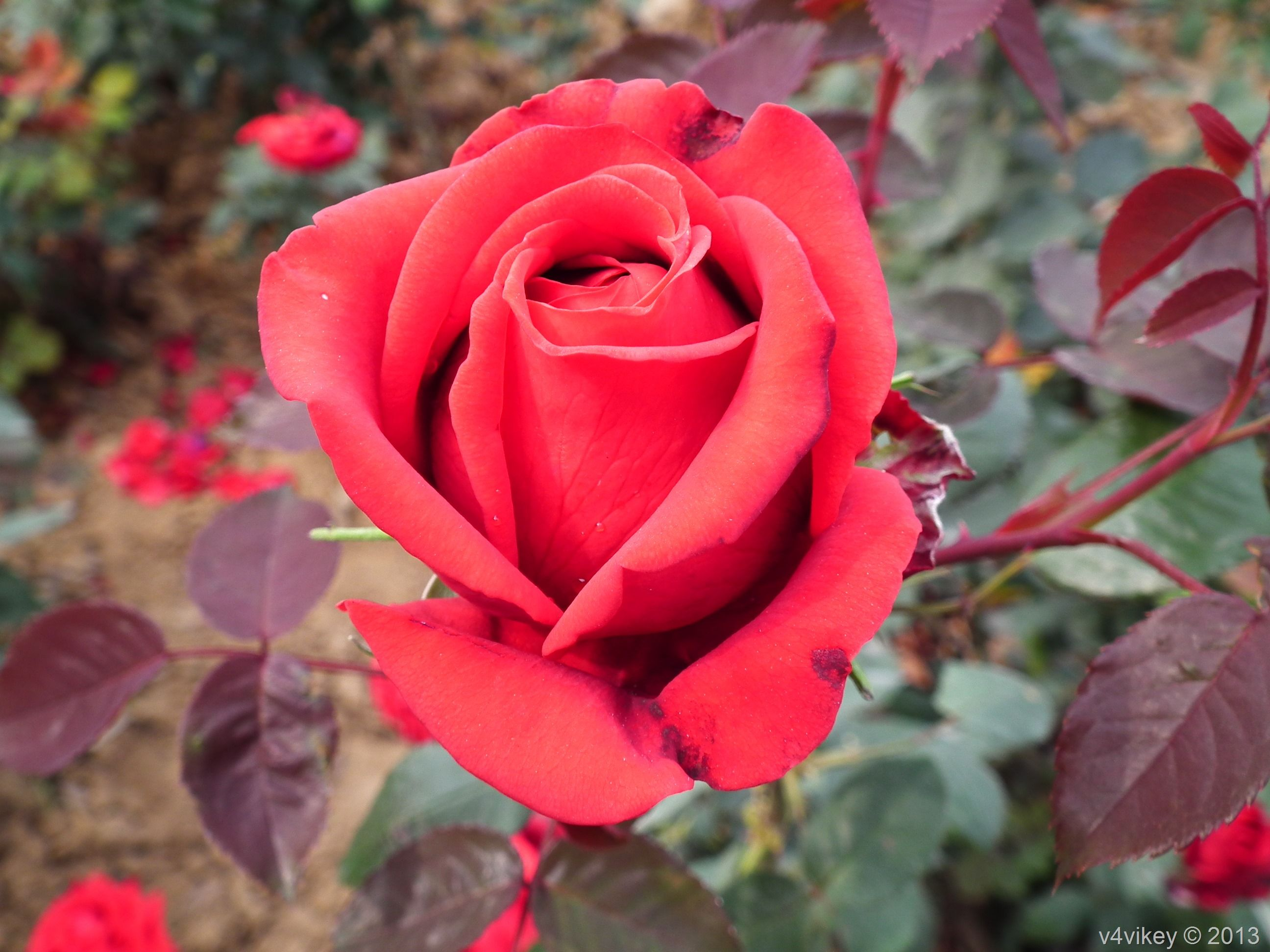 five different type of rose flowers wallpaper tadka best games