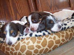 Tracy Perry Piebald Dachshund Dachshund Mini Weiner Dog