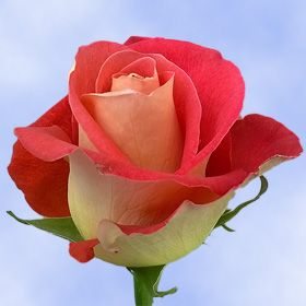 Big Red And Yellow Roses Order Roses Online Cheap Wedding