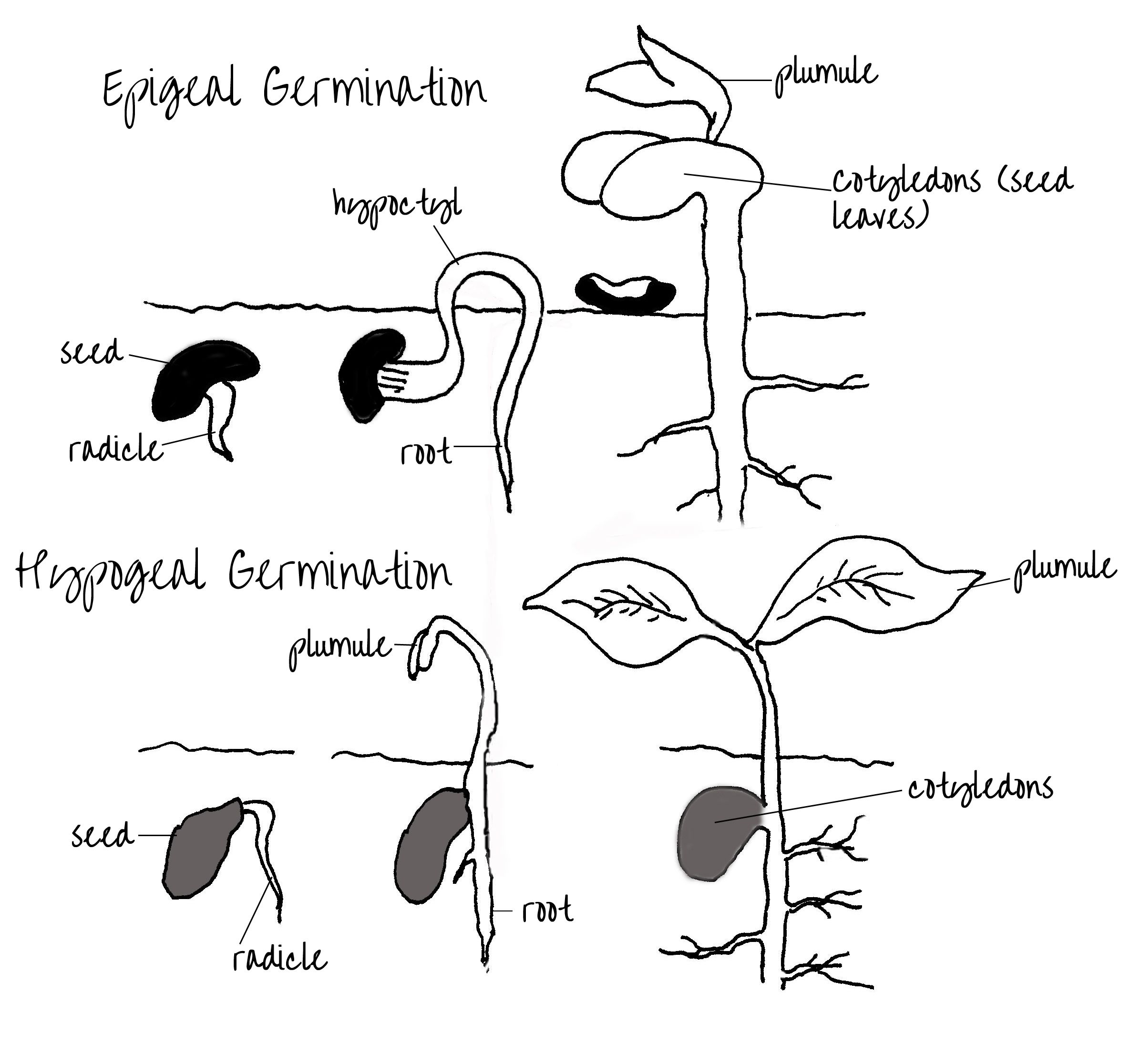 hight resolution of epigeal hypogeal germination of seeds