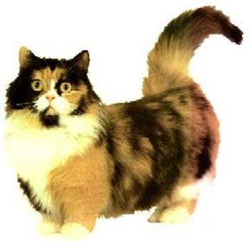 Munchkin Cats Might Look Like Cartoons But It Just Makes Them Cuter In My Opinion Munchkin Cat Cat Facts Mean Cat