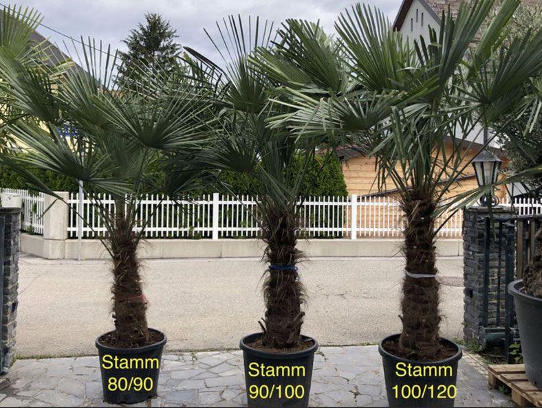 Trachycarpus Fortunei Bis 17 C Palmen Schartners Webseite Winterharte Pflanzen Garten Winterharte Pflanzen Palmen Garten
