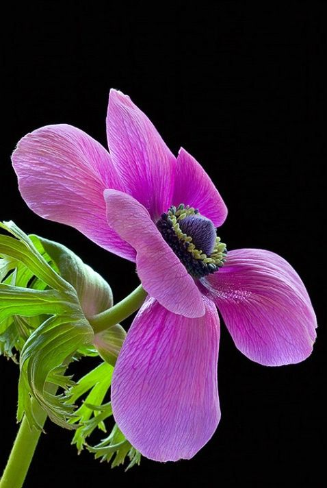 Anemone Pink Flower Macro In 2020 Rare Flowers Purple Flowers Strange Flowers