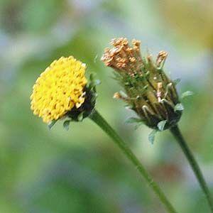 コセンダングサの頭花