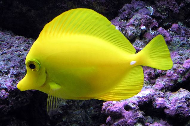 Tangs Yellow Fish Tang Fish Pet Fish