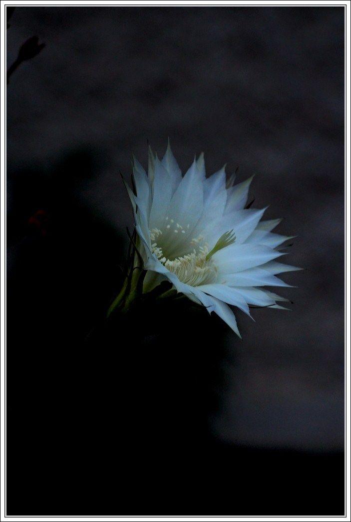 Cactusflower by Frantisek Balga #flowerphotography #photography