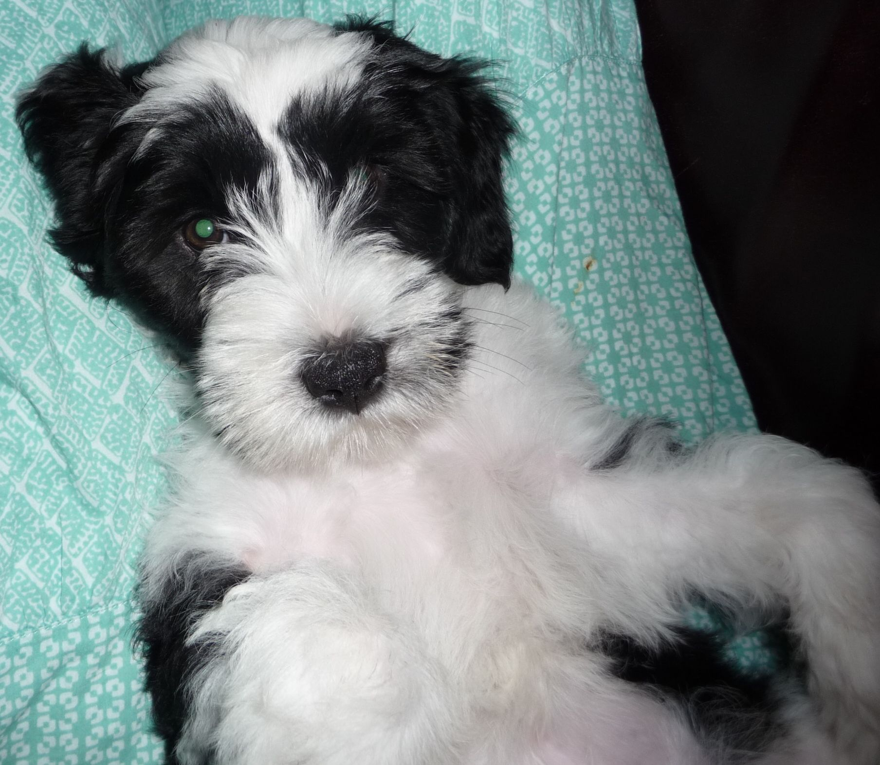 Daisy, a black and white Tibetan Terrier puppy, at 11