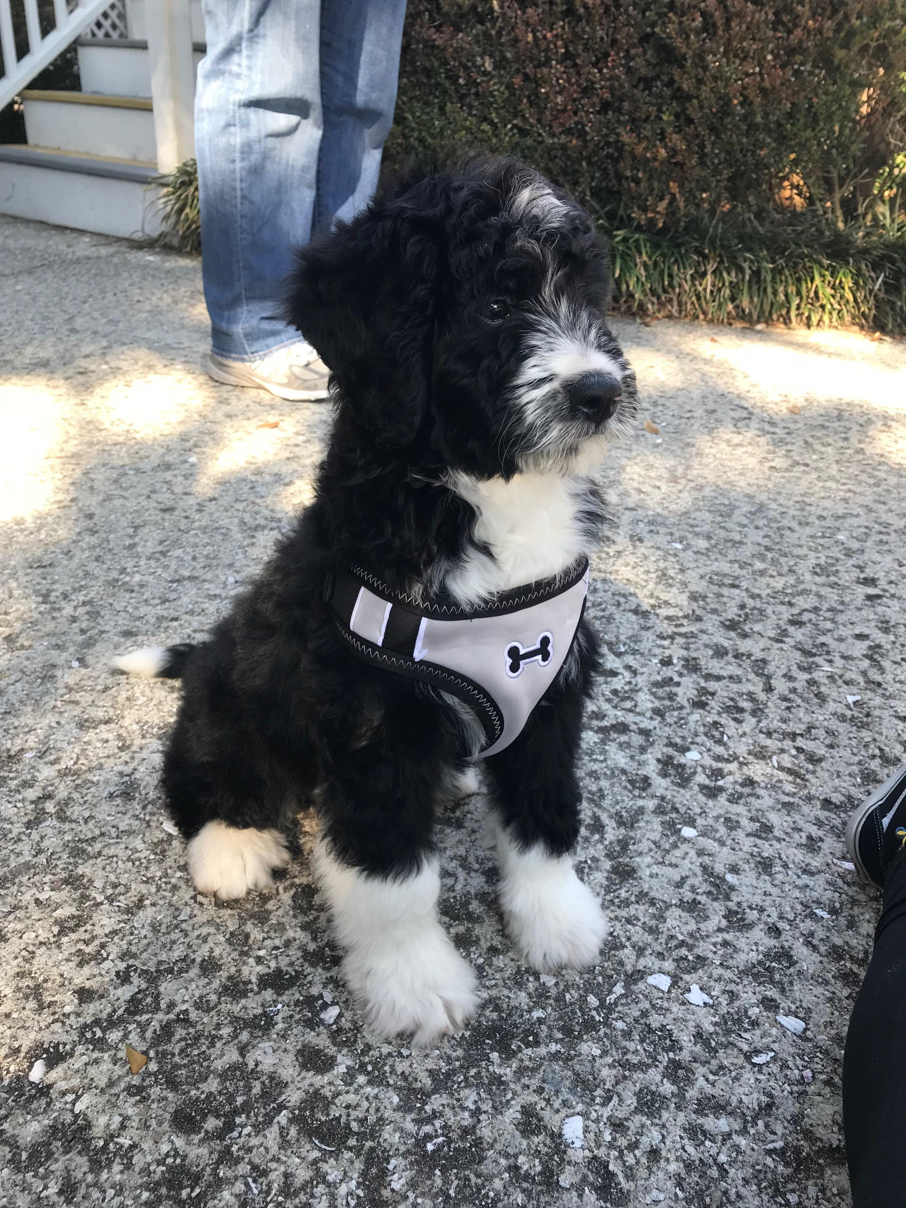 Poodles smart active and proud poodles pinterest dogs