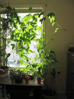 Grow passion fruit vines indoors apartment deck Indoor apartment plants