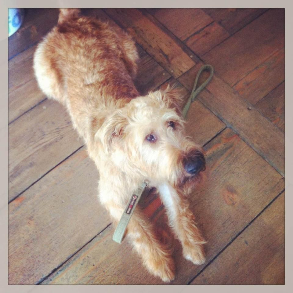 Paddy the suave Irish Terrier freshly groomed & wearing his Love My Dog Thornby Tweed collar & lead set. His owner kindly said he constantly gets compliments on his haircut and how smart he looks which we always love to hear at Hair of the Dog
