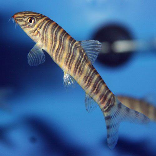 Zebra Loach Botia Striata That Fish Place Fish Cool Fish Aquarium Fish