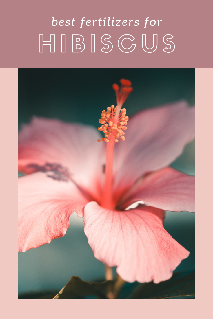 8 Best Hibiscus Fertilizers Reviews And Guide For 2020 In 2020 Hibiscus Fertilizer Fertilizer For Plants Hibiscus Plant