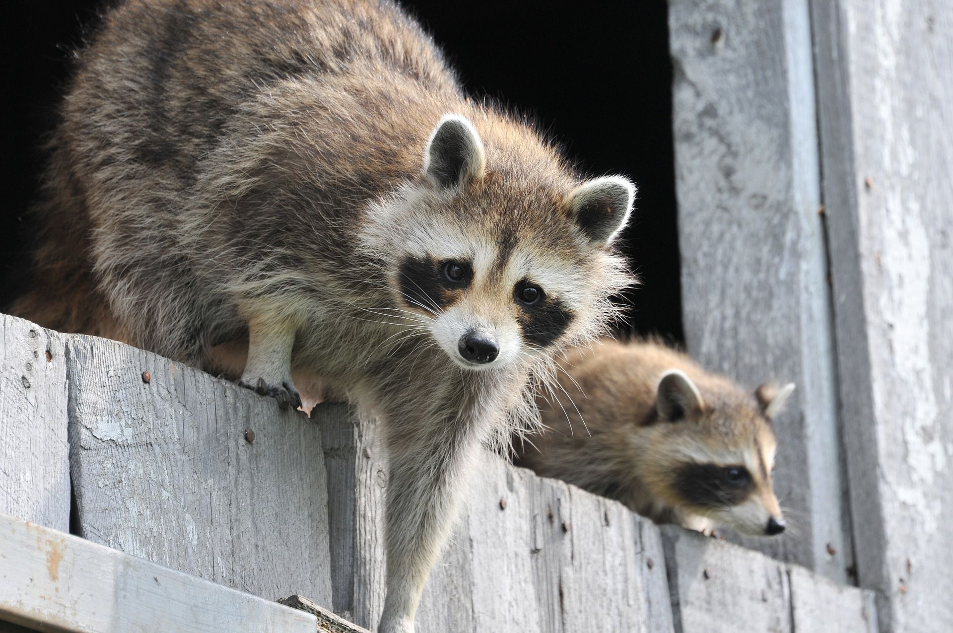 Dealing With Garden Pests Getting Rid Of Raccoons Raccoon Cute