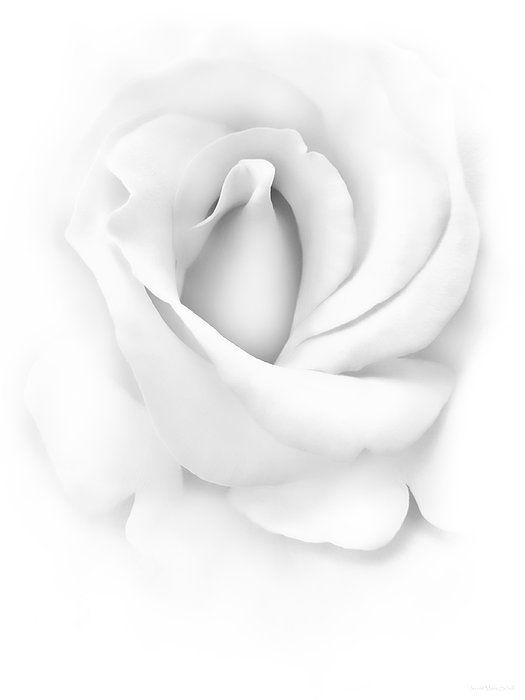 Soft light on monochrome white rose flower by Jennie Marie Schell