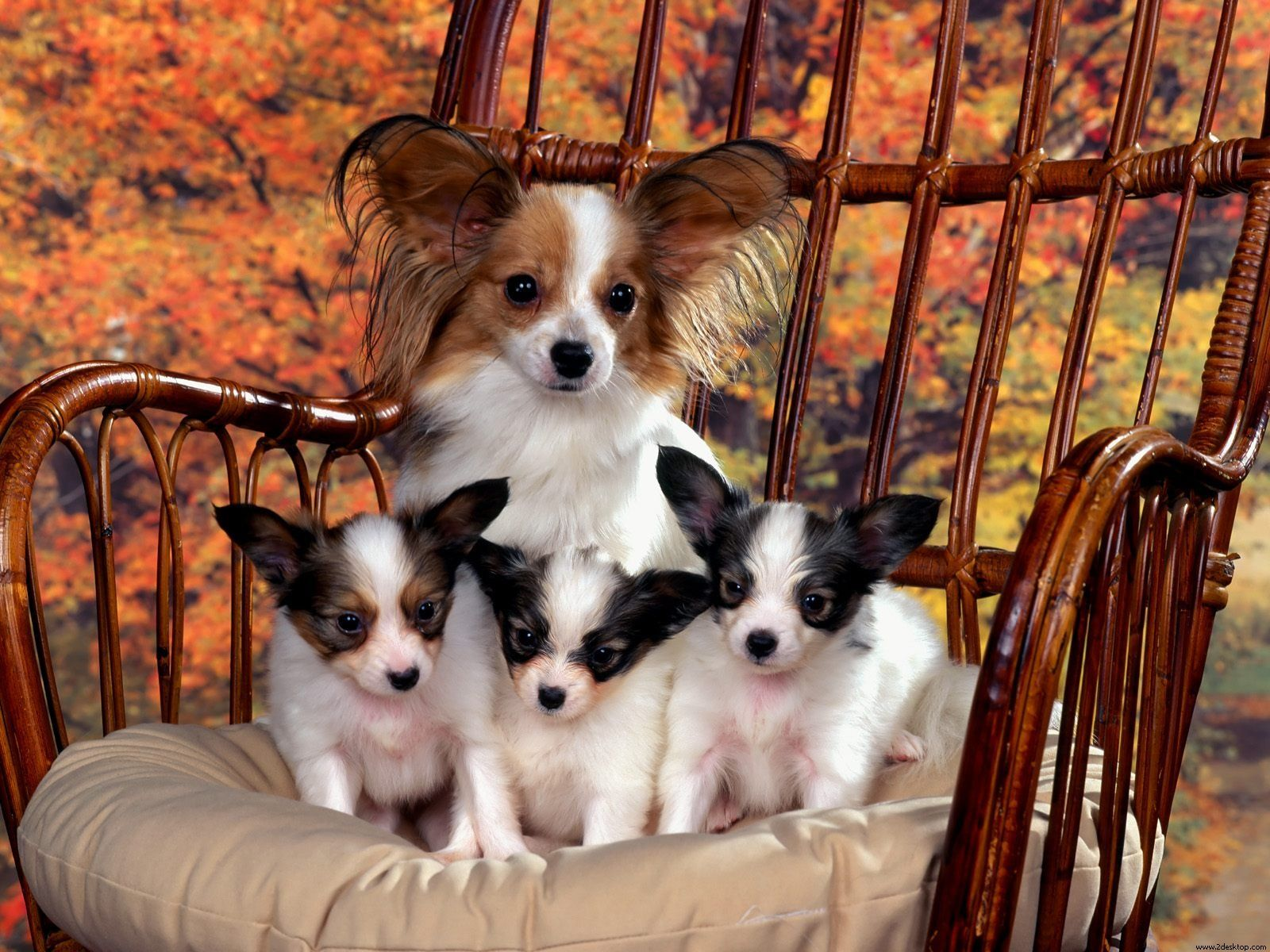 Pappilion puppies cute critters pinterest dog wallpaper dog