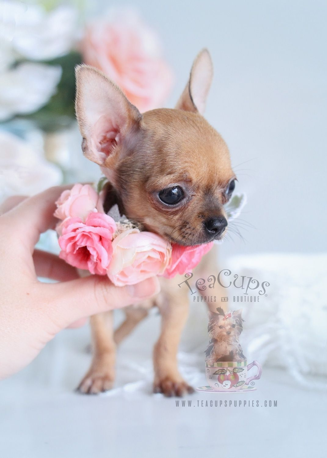 Teacup Chihuahua Puppies For Sale In Florida | puppies