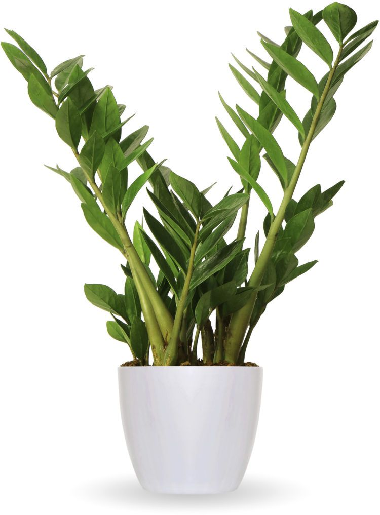 Top 10 indoor plants for a busy household Homes To LoveZZ Plant