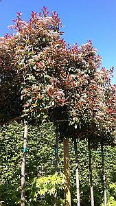 photinia red robin pleached trees. Black Bedroom Furniture Sets. Home Design Ideas