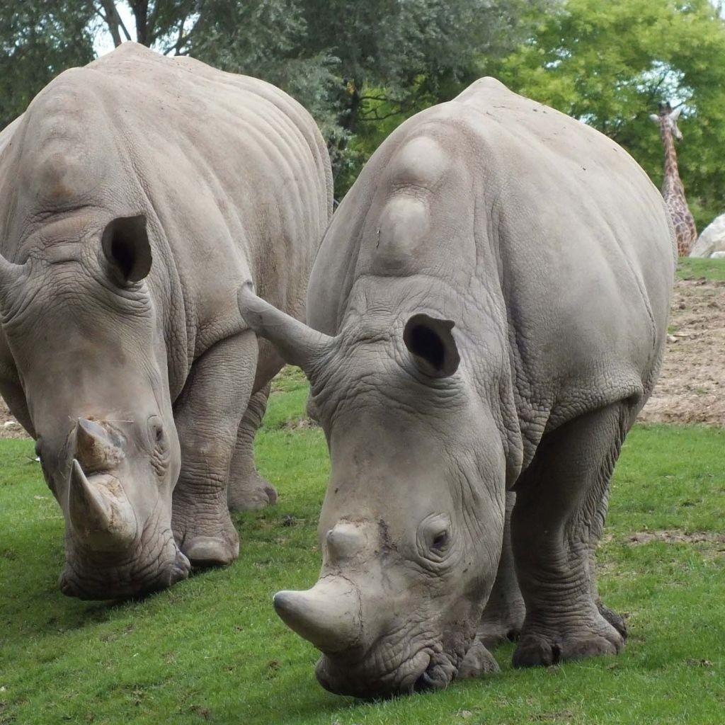 Rhinos eat grass Animals, Animal wallpaper, Animals wild