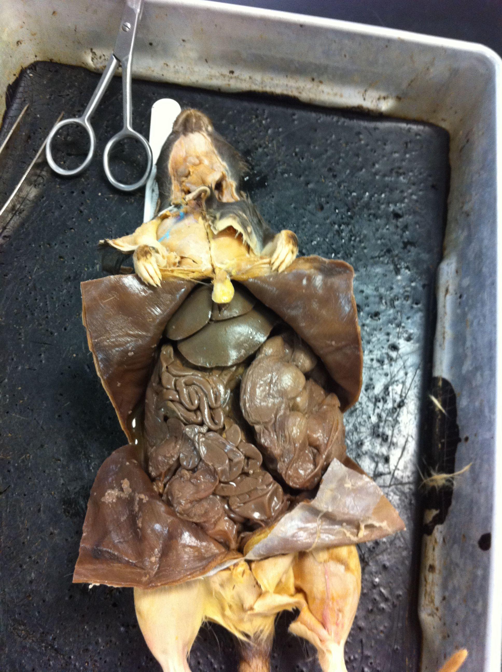 Rat Dissection Bio111