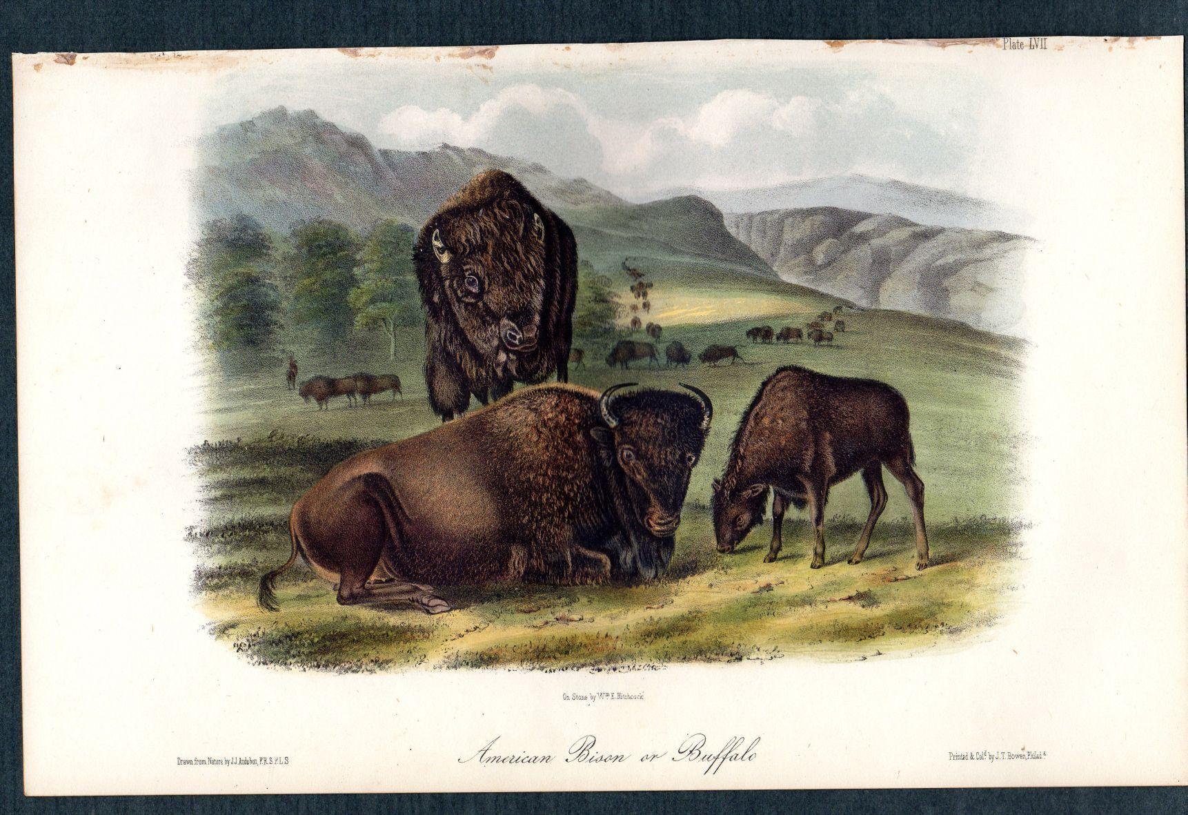 Audubon AMERICAN BISON or BUFFALO Quadrupeds of North America Plate 57 1st Ed 1851