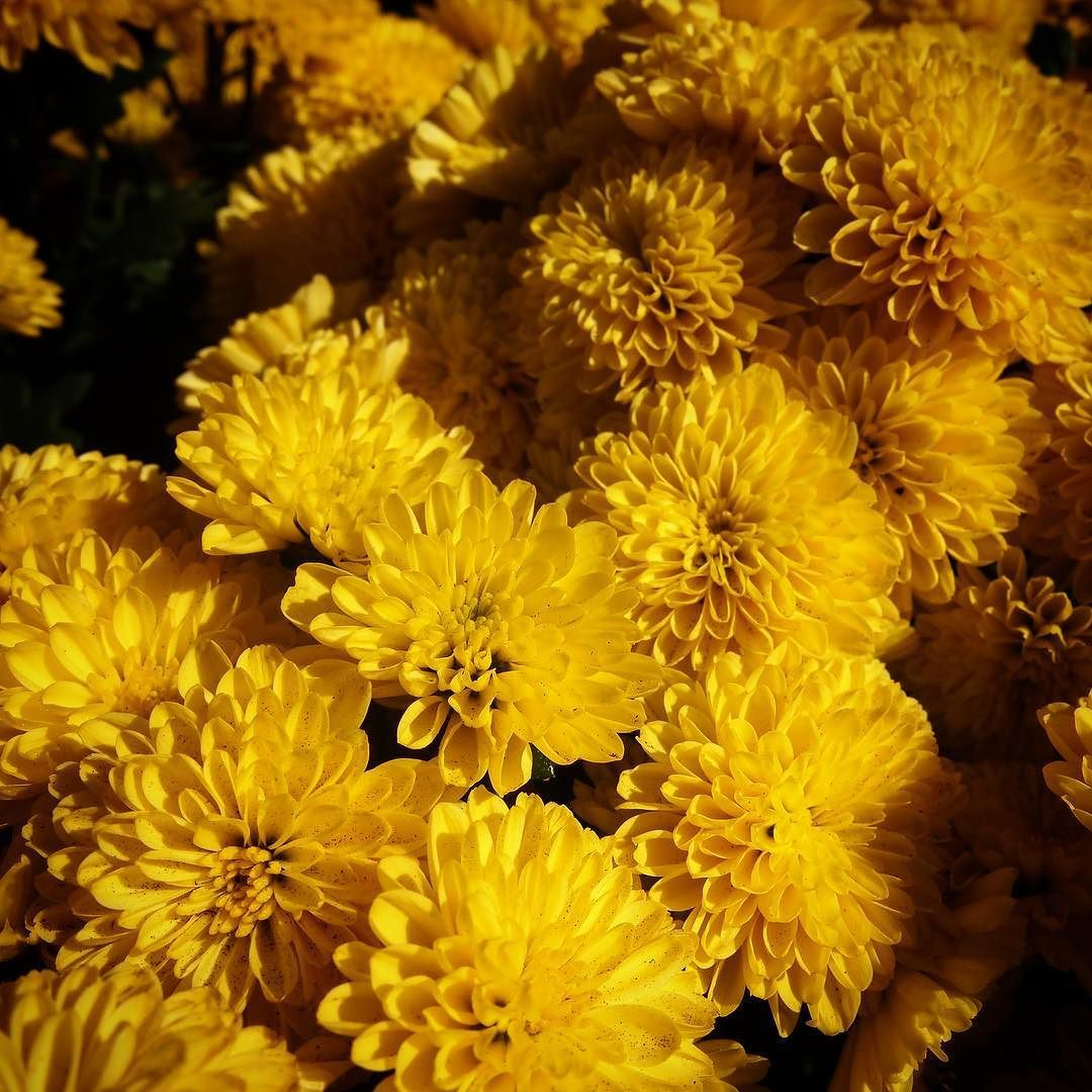 Yellow mums flowers chrysanthemum garden yellow nature yellow mums flowers chrysanthemum garden yellow nature outdoors mightylinksfo