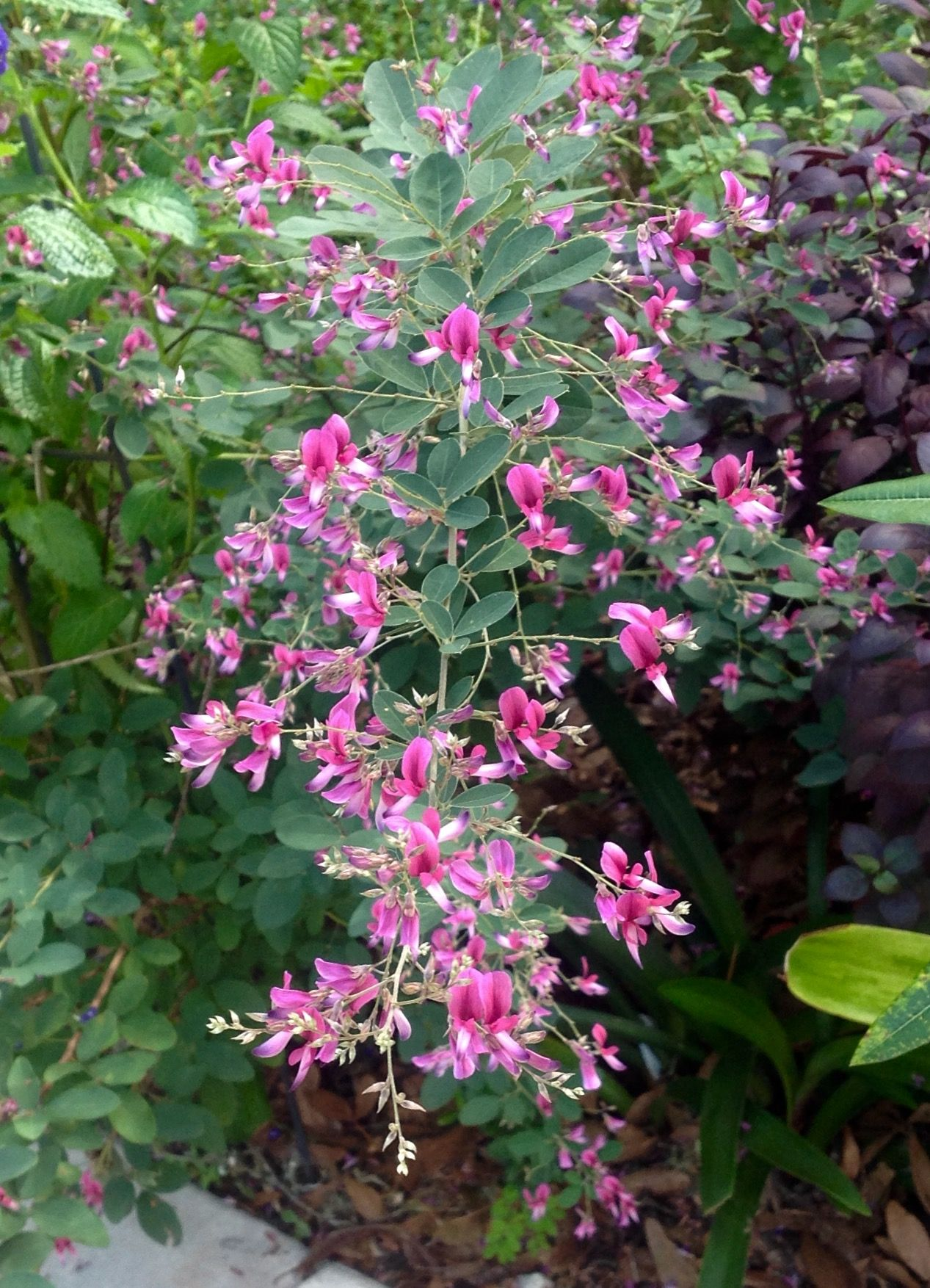 Lespedeza bicolor, flowers in May and September/ October ...