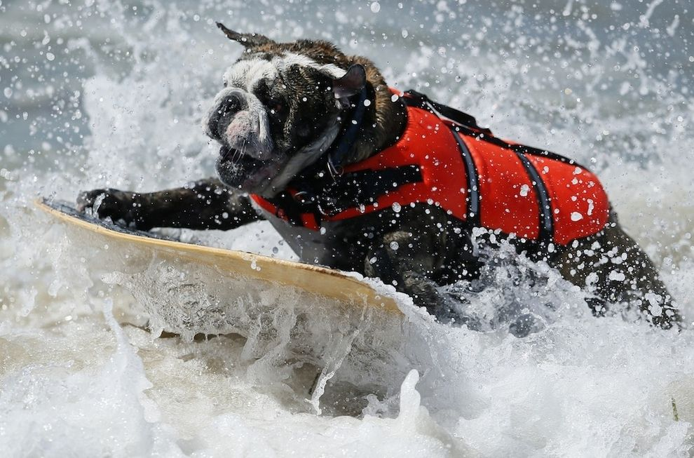 20 surfing dogs dog competitions dog contest dogs