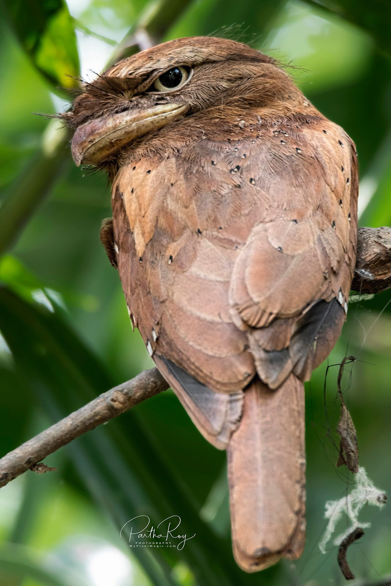 Sri Lanka Frogmouth (Batrachostomus Moniliger) Thattekhad