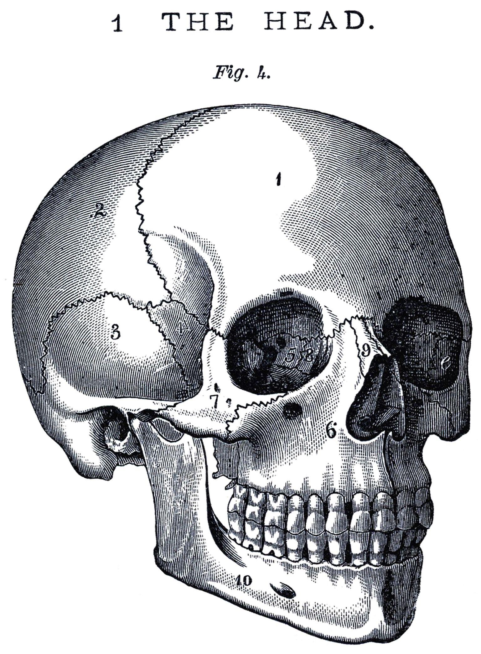6 Skull Images Vintage Anatomy Clip Art Bones Morgue Files