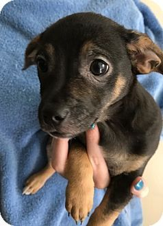 Tampa Fl Chihuahua Mix Meet Percy Ck A Puppy For Adoption
