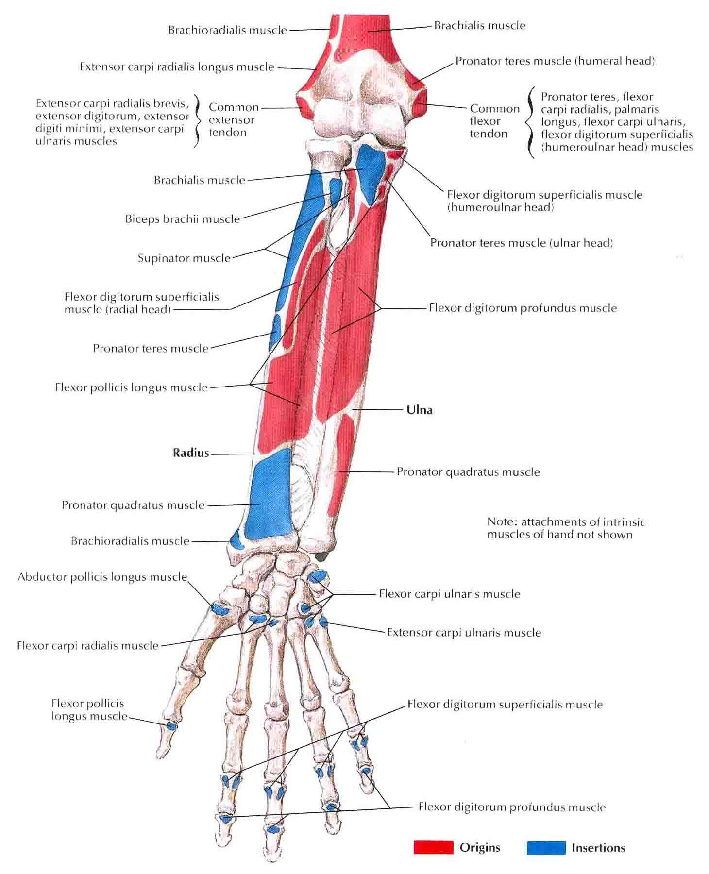 muscles of forearm origin and insertion - Google 검색   anatomy ...