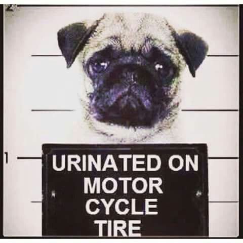 Pin By Cindy Holder On Everthing Motorcycle Pugs Cute Animal