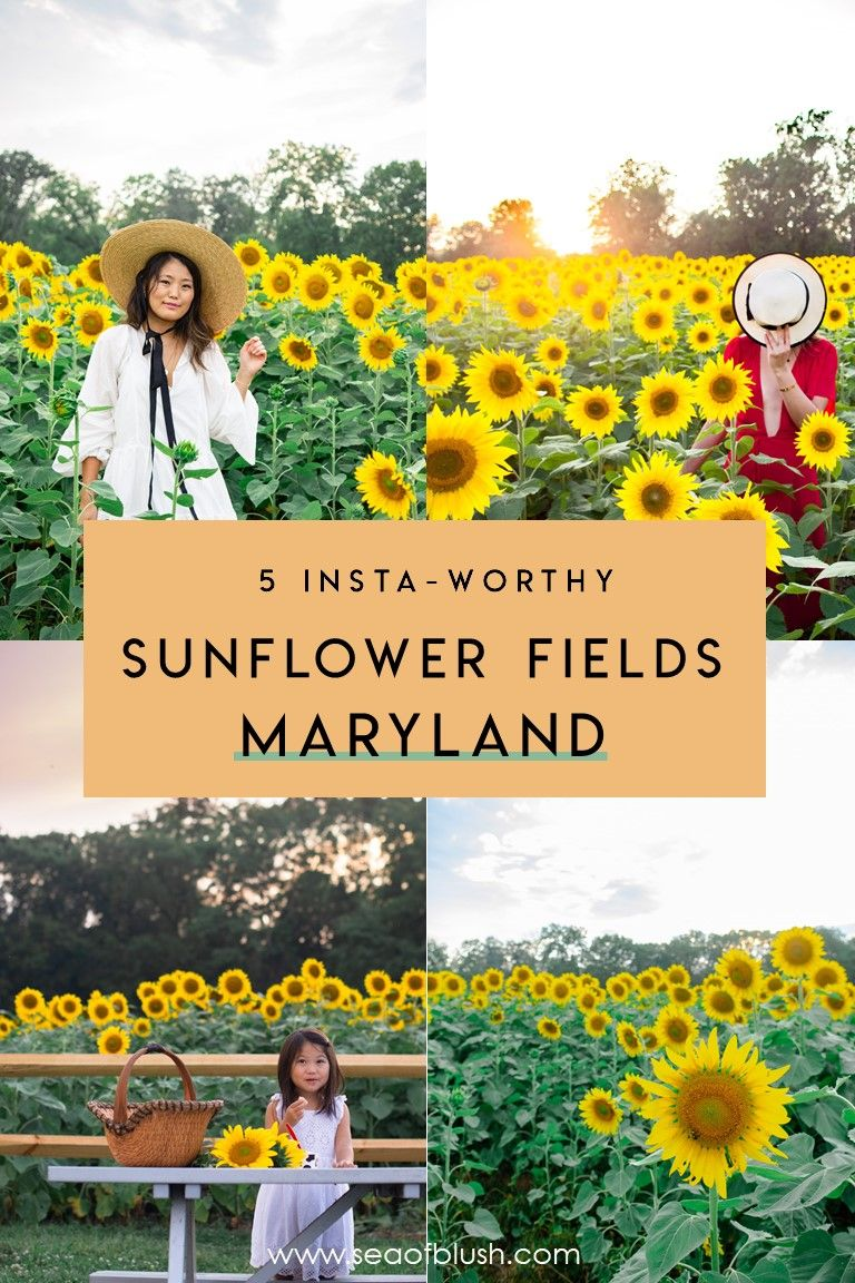 10 Sunflower Fields In Maryland To Visit If You Missed Mckee Beshers In 2020 Sunflower Fields Day Trips Travel Usa