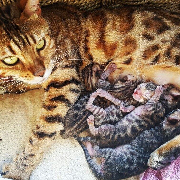 Www Bengaldiamondz Com Bengal Kitten Bengal Cat Bengaal Kitten Bengaalse Kat Bengaalse Kat
