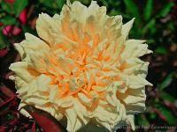Rogue Valley Rosas | Especializada em rosas raros, antiguidades, e excepcionais.
