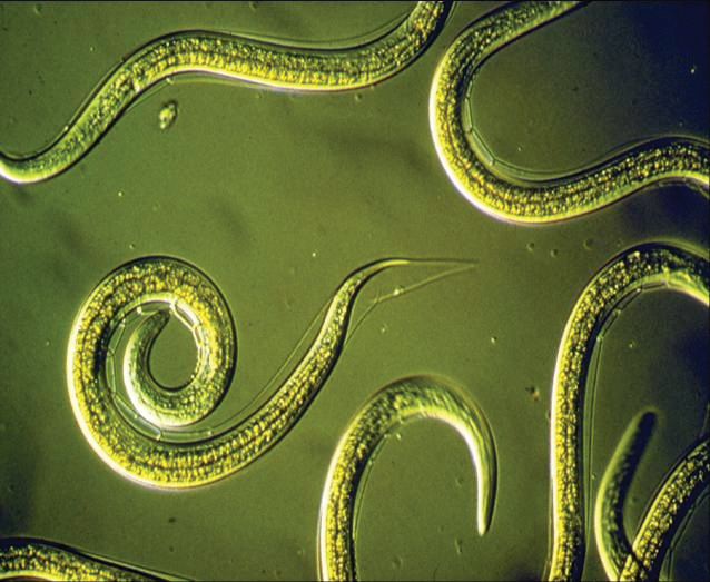 Nematodes Are From The Phylum Nematoda Meaning thread