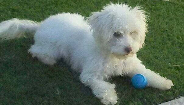 Adopt Chauncey Chance On Poodle Mix Dogs Maltese Poodle Mix