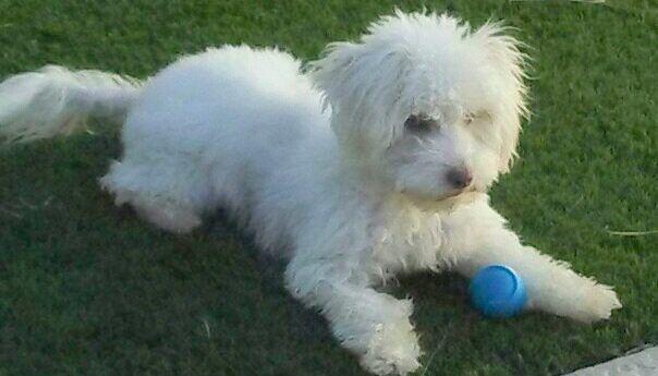 Chandler Az Shih Tzu Poodle Miniature Mix Meet Dusty A Dog