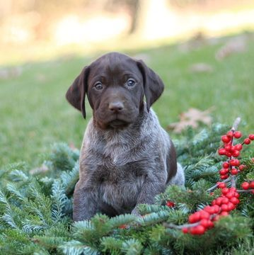German Shorthaired Pointer Puppy For Sale In Gap Pa Adn 53819 On