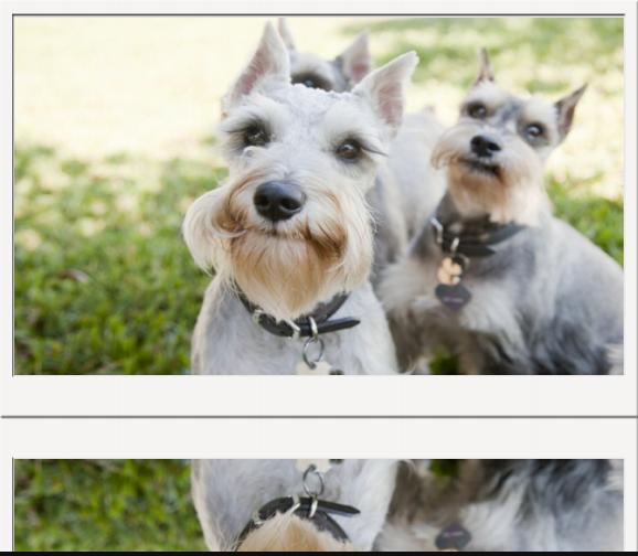Puppies Puppies Miniature Schnauzer Puppies