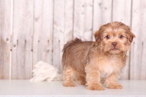 Shorkie Tzu Puppy For Sale In Mount Vernon Oh Adn 30453 On Puppyfinder Com Gender Male Age 8 Weeks Old Puppies For Sale Puppies Shorkie Tzu