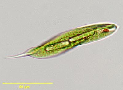 Euglena science pinterest euglena ccuart Images