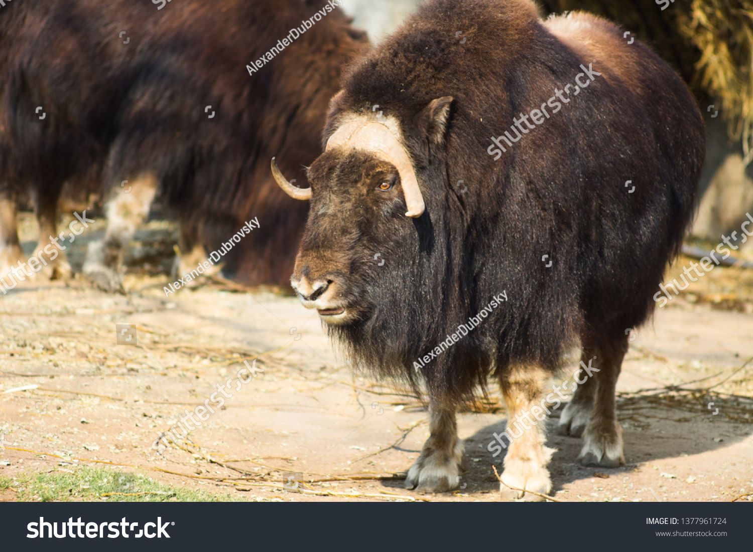Wild Musk Ox In The Nature Wildlife Of Big Animals Yak Ad