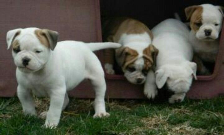 American Bulldog Puppies American Bulldog Puppies American Bulldog Valley Bulldog