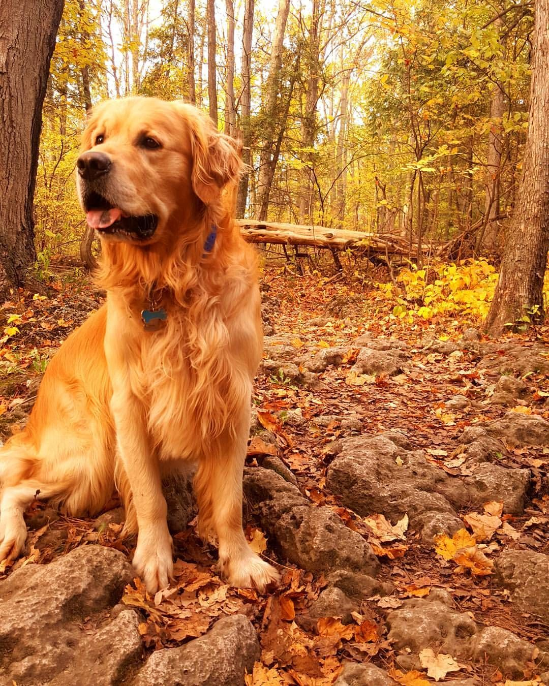 Golden Autumn Really Cute Dogs Golden Retriever Dog Day Afternoon