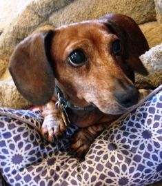 Dream Dachshund Rescue Education Adoption Mission Dachshund